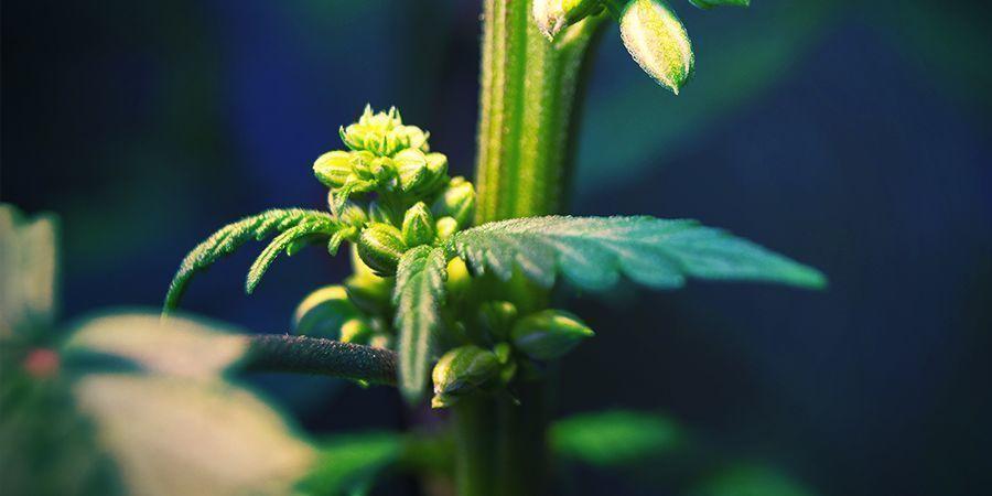 Les Plants De Cannabis Mâles