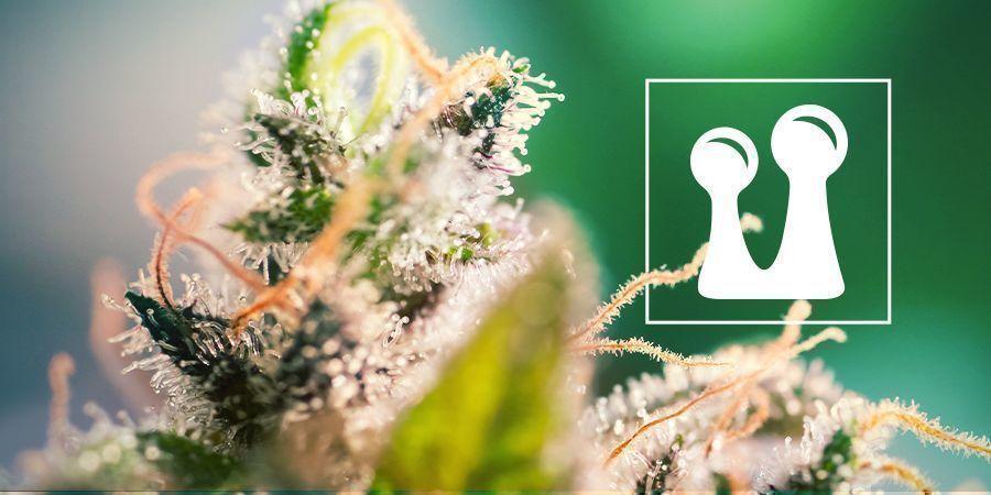 Trichomes De Cannabis