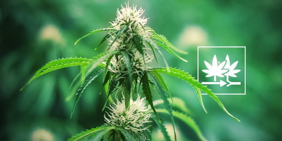 Comment Créer Votre Propre Variété De Cannabis Avec Des Graines Régulières