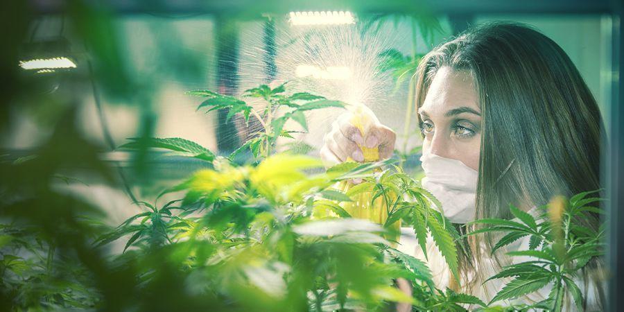 Cannabis Sélectionneurs Professionnels