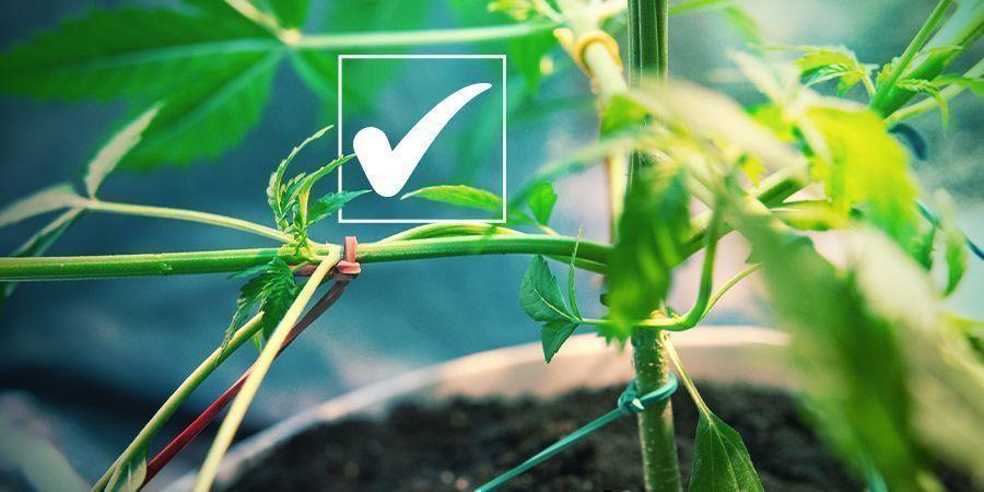 Graines De Cannabis Féminisées : Les Avantages