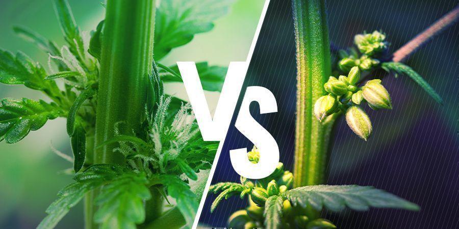 Sexe Des Plantes De Cannabis: Plants Mâles Vs Femelles