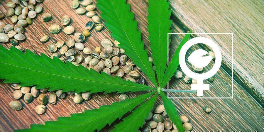 Que Sont Les Graines De Cannabis Féminisées ?