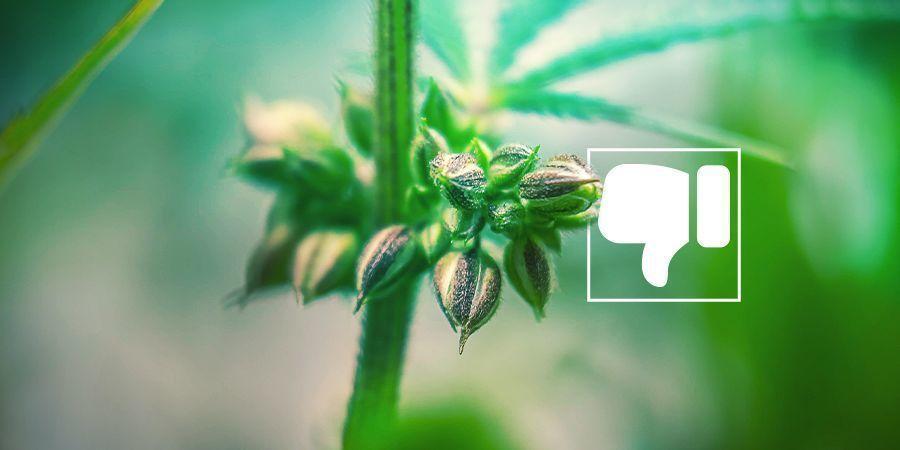 Pourquoi Vous Ne Voulez (Probablement) Pas De Plants De Cannabis Mâles