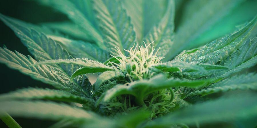 Qu'est-Ce Que Le Cannabis À Autofloraison ?