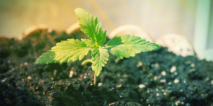 Est–il Possible De Cultiver Une Variété À Autofloraison Sans Nutriments ?