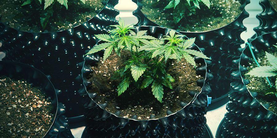 Air Pots Cannabis