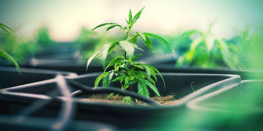 Les Pots En Plastique Cannabis