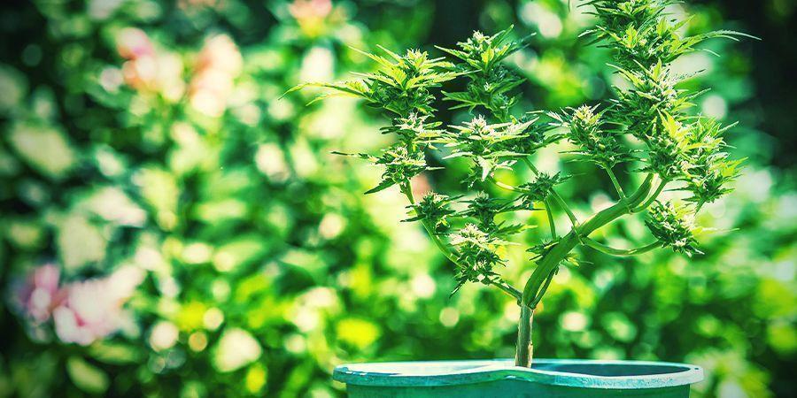 Les Astuces Pour La Culture Du Cannabis En Pots