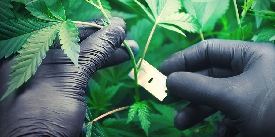 Cannabis En Laine De Roche : Clonage Et Enracinement Des Boutures