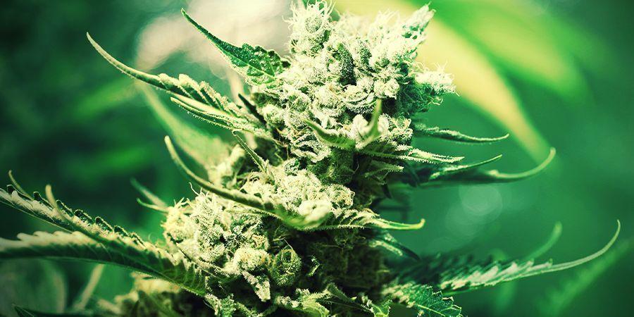 Cultiver Du Cannabis En Laine De Roche : Floraison