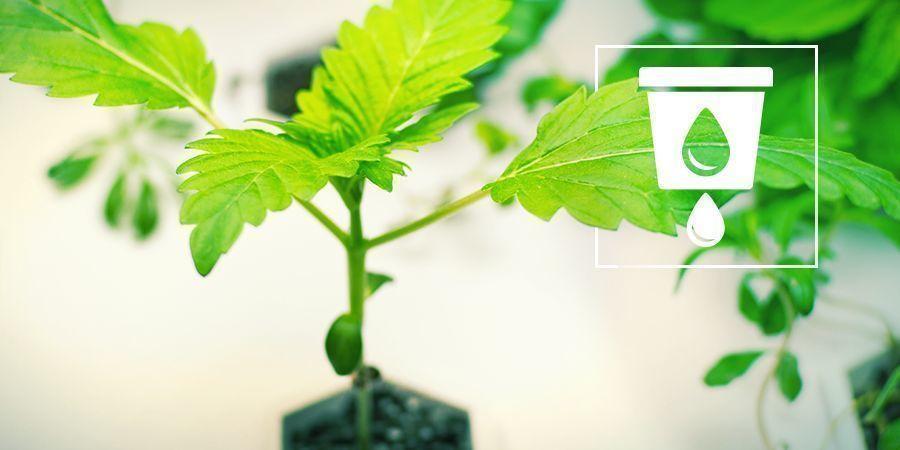 La Culture Du cannabis En Hydro