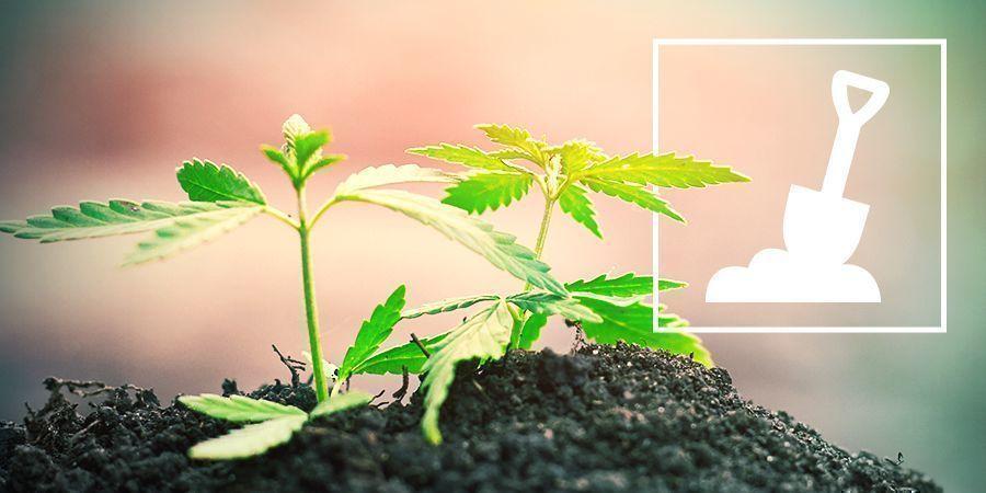 La Culture Du Cannabis En Terre
