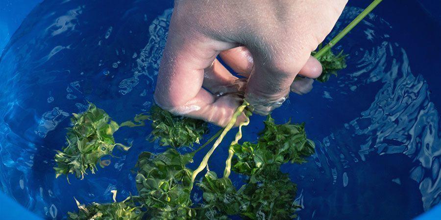 Lavage Des Têtes De Cannabis : Instructions Étape Par Étape