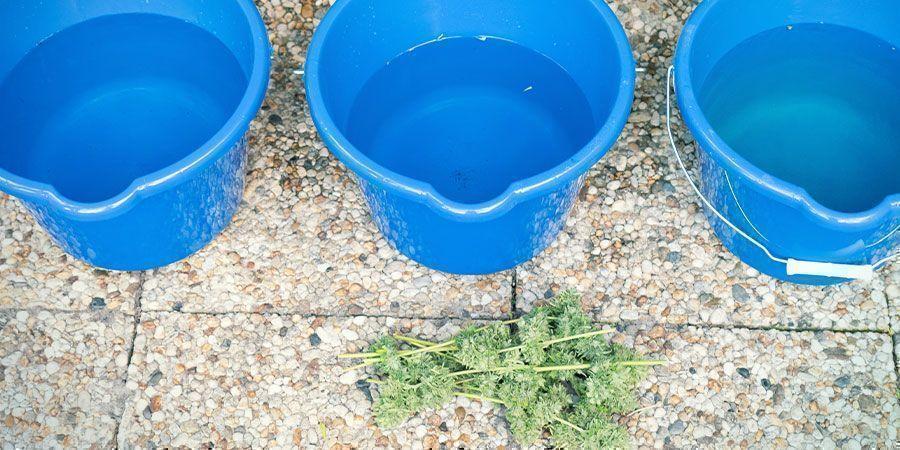 Comment Laver Les Têtes De Cannabis