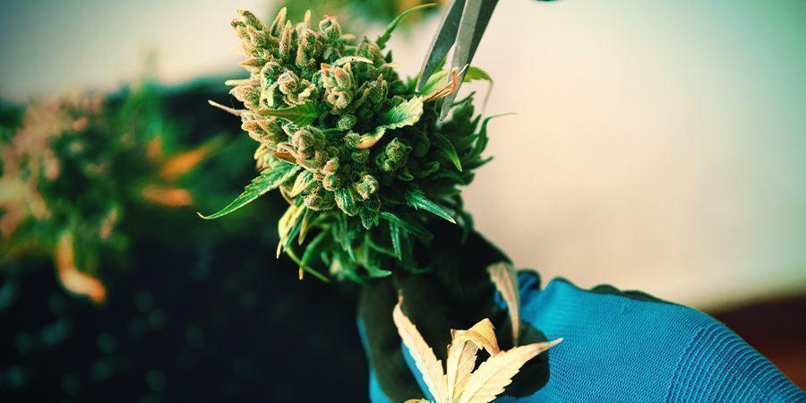Manicure De Cannabis