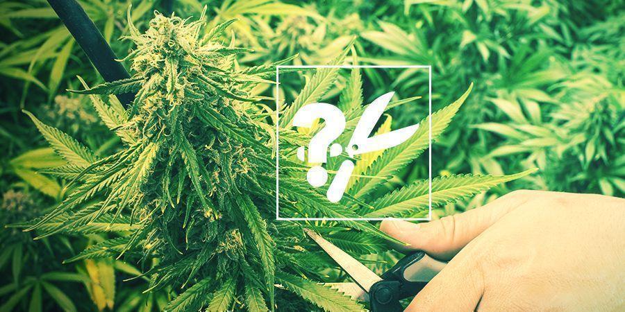 Quand Récolter Le Cannabis