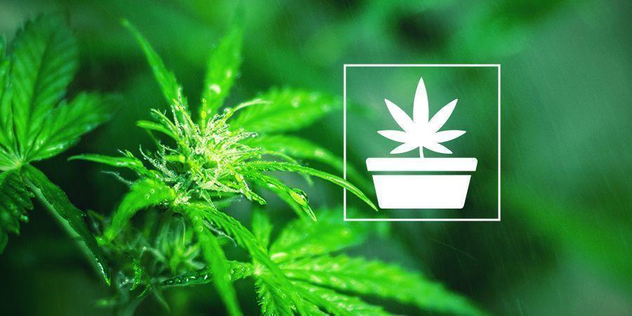 Phase Végétative De La Culture De Cannabis
