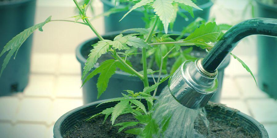 Arroser Ses Plants De Cannabis Peut-être Exigeant