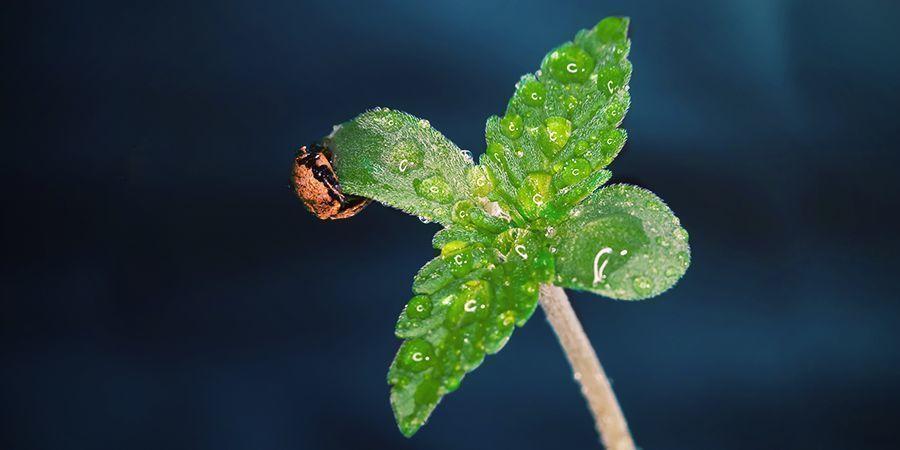 Quand Utiliser Du CO₂ Pour Les Plants De Cannabis