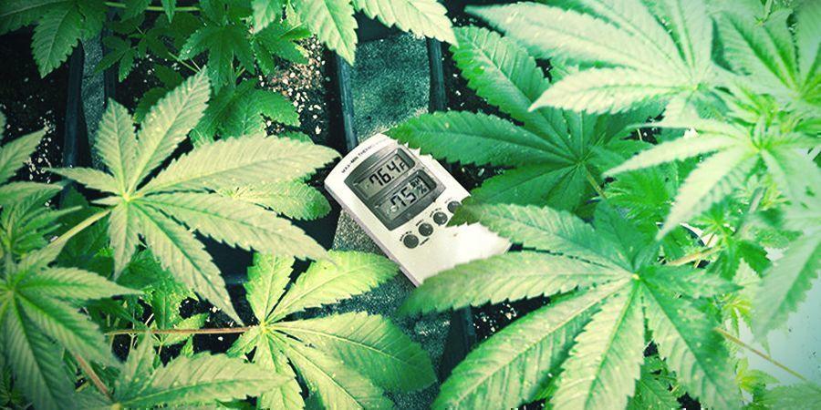 Fourchettes Optimales De Température Pour Cultiver Du Cannabis