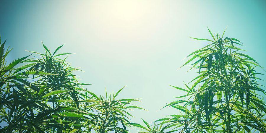 Taille Des Plantes (Cannabis)