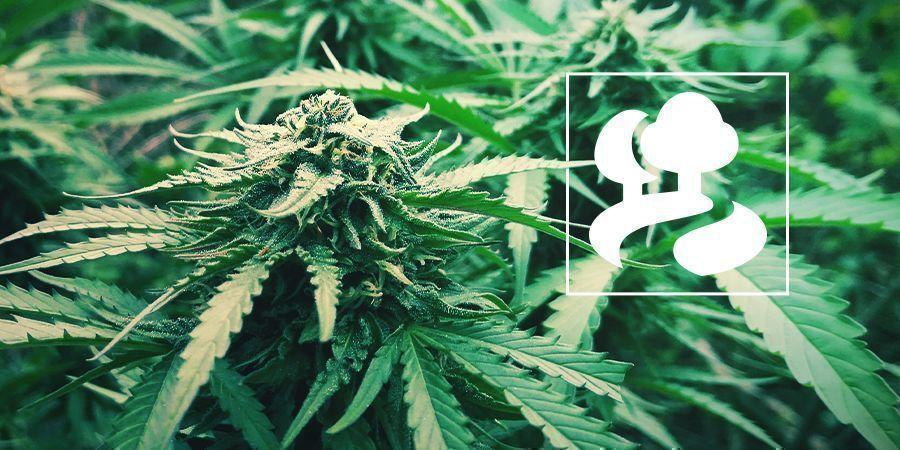 La Culture Guérilla Des Plants De Cannabis