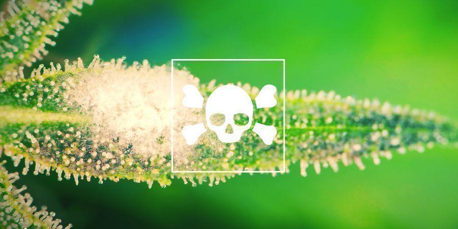 Les Plants De Cannabis Malades