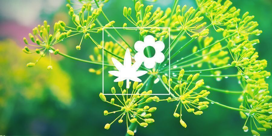 Plante Compagne du Cannabis : Aneth