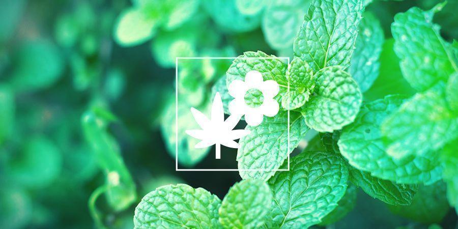 Plantes Compagnes Pour Vos Cultures De Cannabis : Menthe