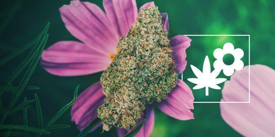 Comment Mieux Cultiver Du Cannabis Avec Les Plantes Compagnes