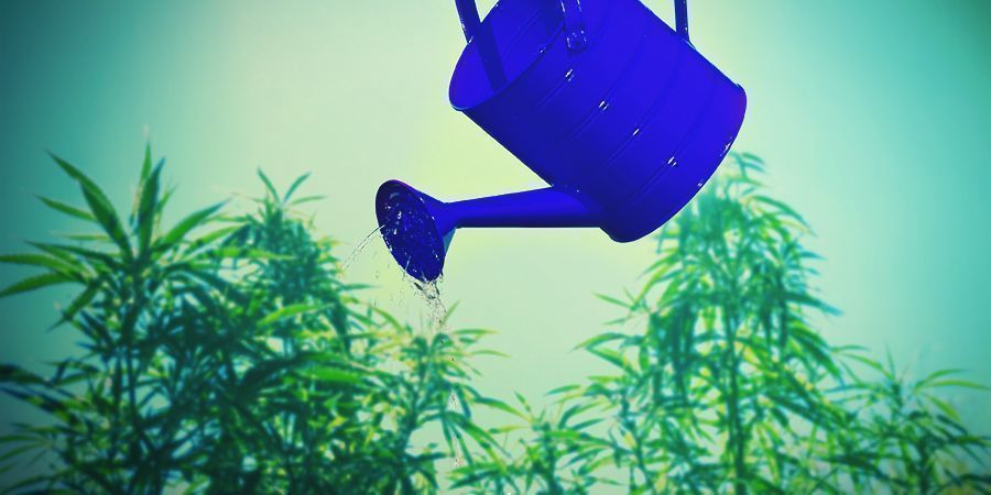 Cannabis Conseils De Culture Autour Du Calcium