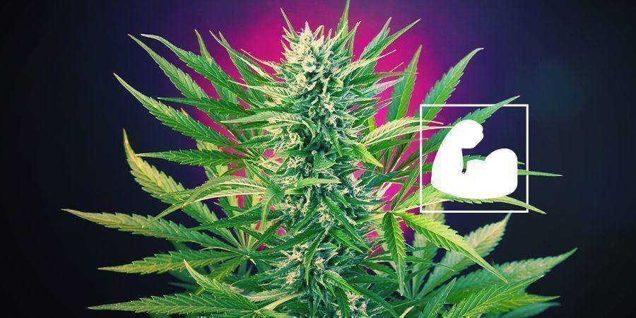 Pourquoi Les Plants De Cannabis Ont-Ils Besoin De Calcium ?