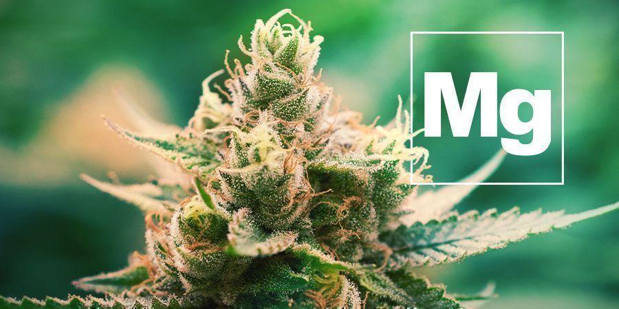 Le Magnésium Et Les Plants De Cannabis