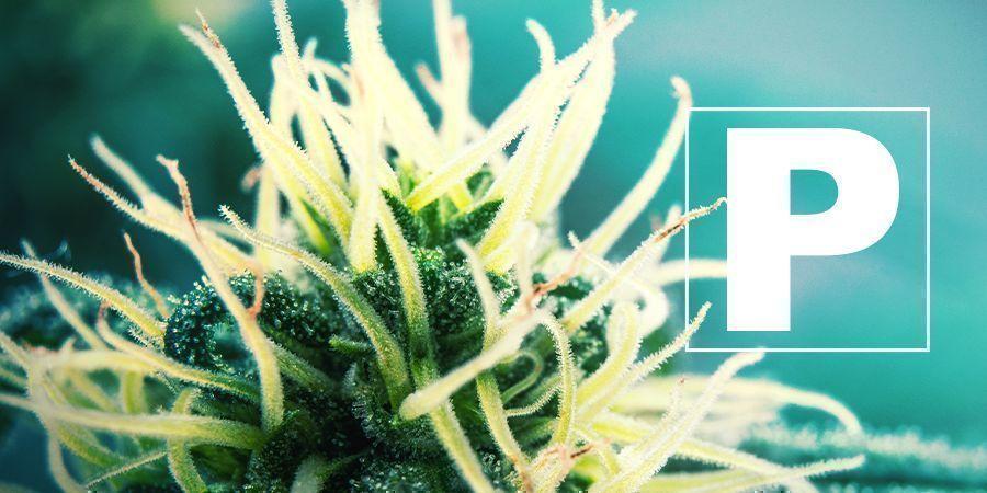 Le Phosphore Et La Culture De Cannabis