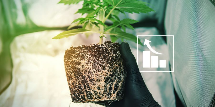 Pourquoi Les Plants De Cannabis Ont Besoin De Soufre ?