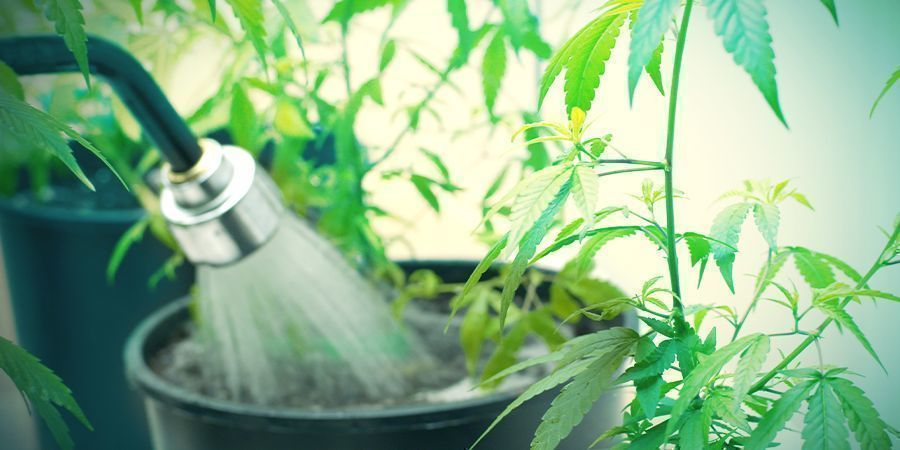 Comment Rincer Des Plants De Cannabis