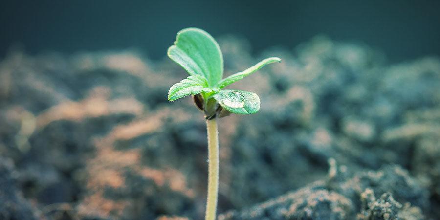 Ratios D'engrais NPK Pour Cannabis Selon L'étape De Croissance