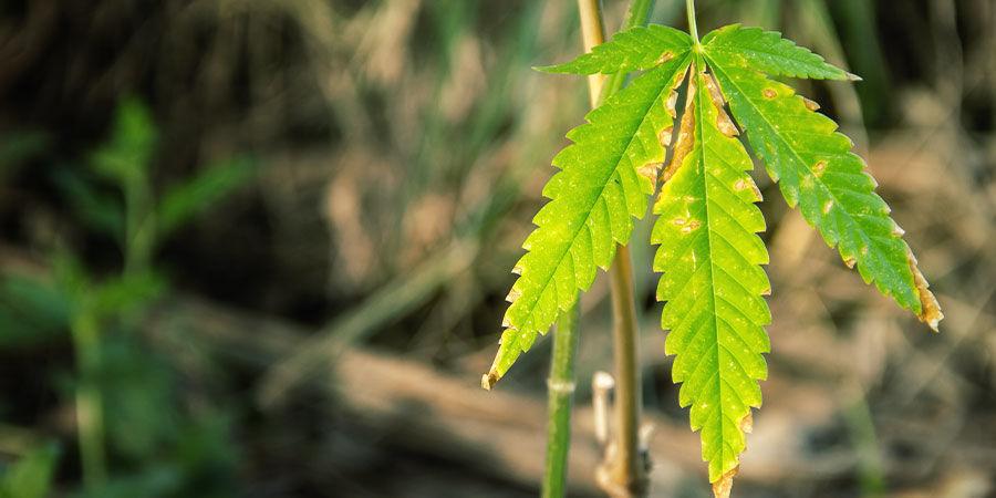 Repérer les Problèmes de Ratio NPK pour le Cannabis