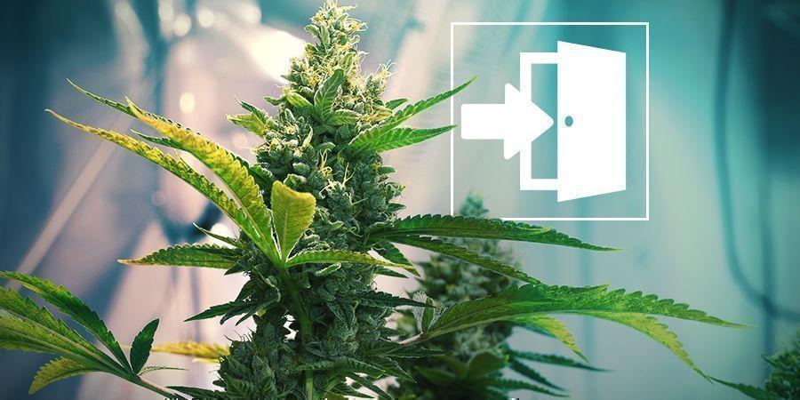 Culture en Intérieur du Cannabis