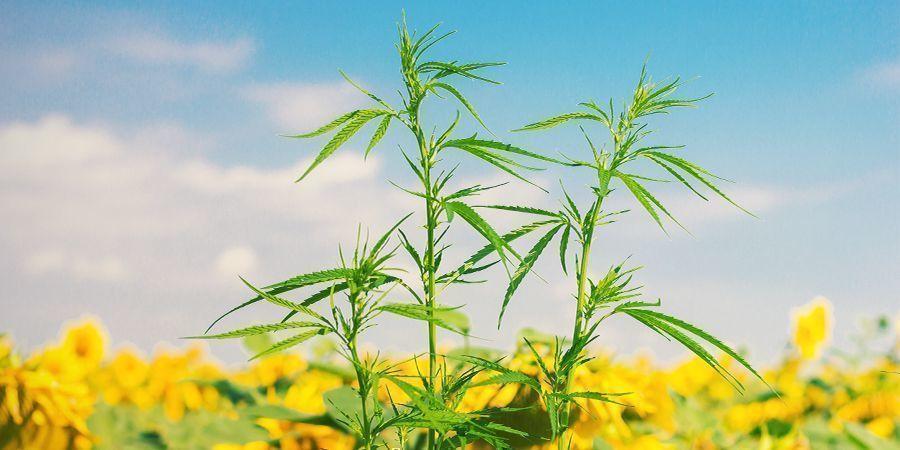 Quelles Sont Les Plantes Compagnes Pour Le Cannabis ?
