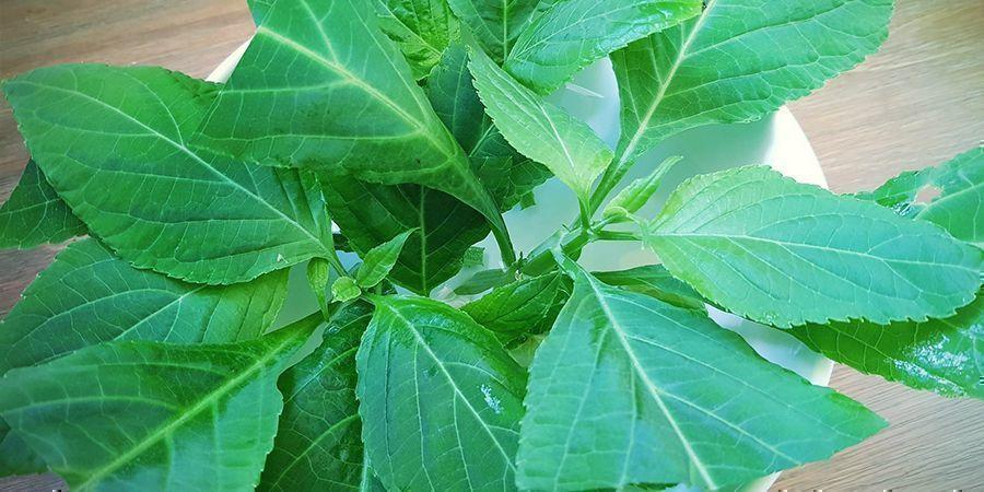 Pouvez-vous Cultiver De La Salvia Divinorum ?