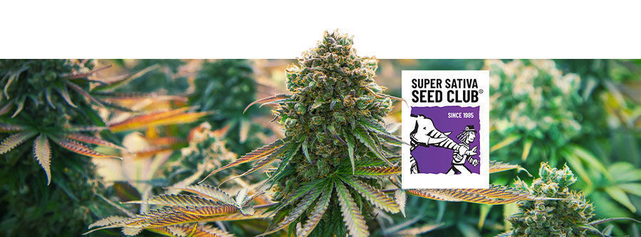 Informations Sur Super Sativa Seed Club