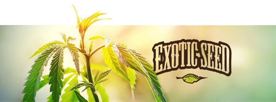 Exotic Seed - Graines De Cannabis