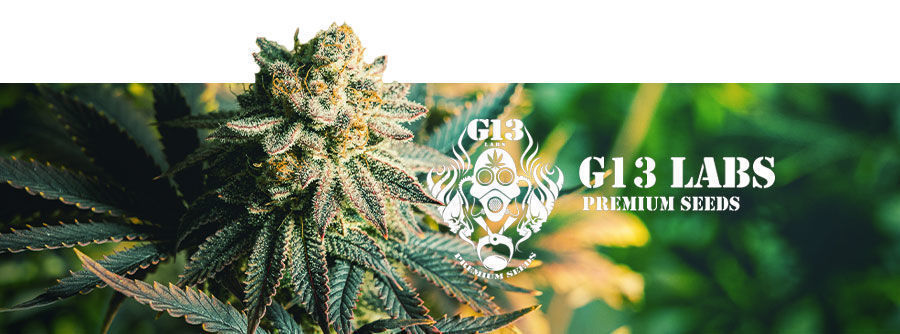 G13 Labs -  graines de cannabis