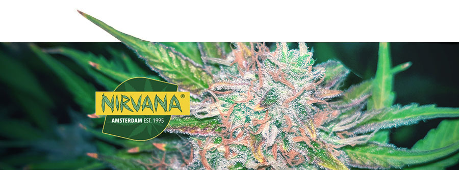 Informations Sur Nirvana Seeds
