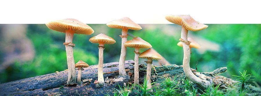 Kits de culture de champignons Zamnesia