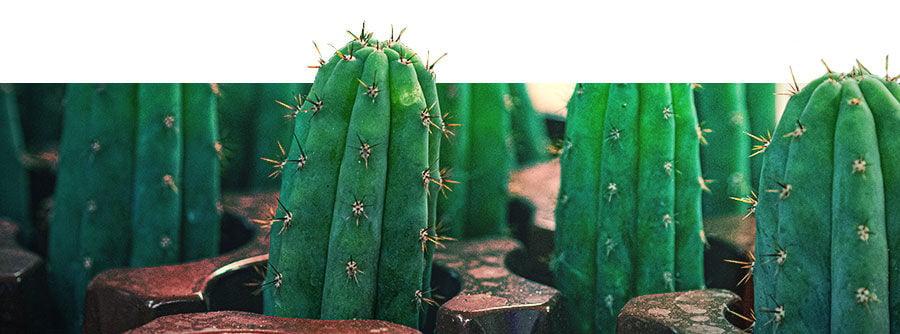Informations Sur Les Cactus À Mescaline