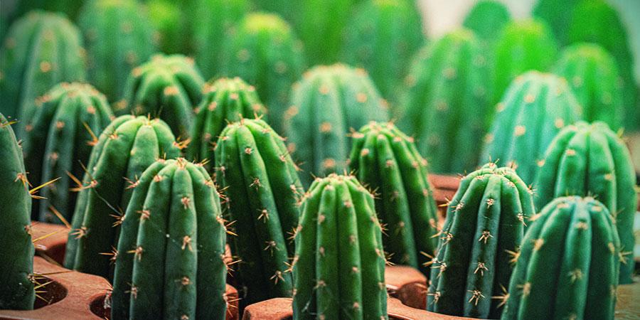 Le Guide Facile Pour Cultiver Les Boutures D'un Cactus Mescaline