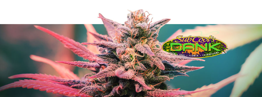 Information de The Dank Seeds